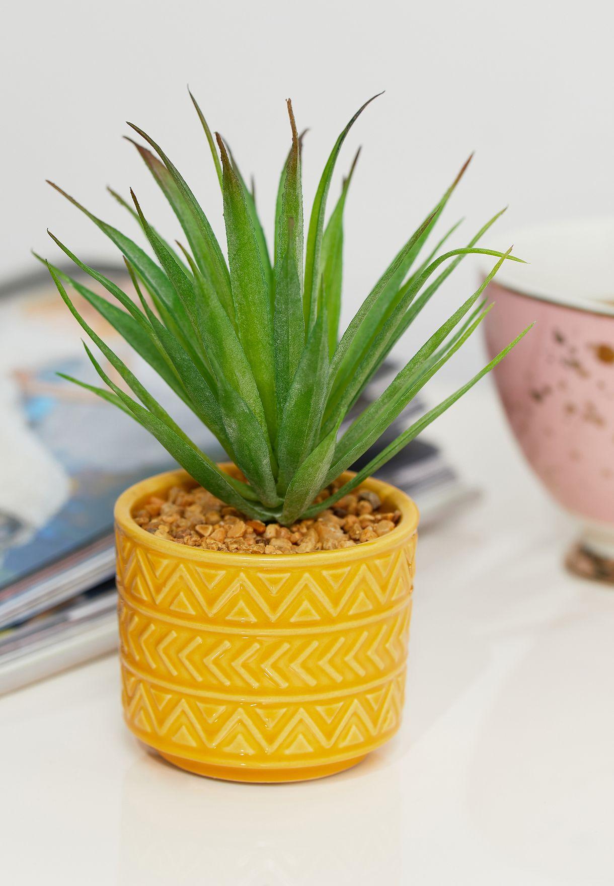 Succulant Plant in Pot